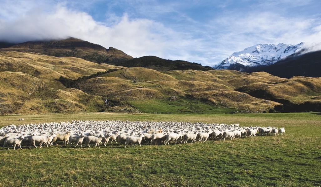 Particulièrement nombreux dans les alpages, les moutons mérinos sont emblématiques de cette île Sud.